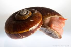 one of these snails is not like the others u2013 helicinid snails