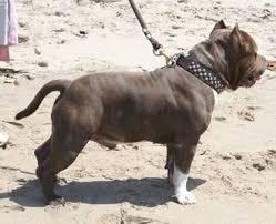 american pitbull terrier 9 meses pitbull no te confundas aqui una breve explicacion taringa