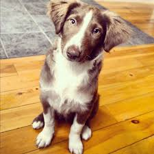 australian shepherd mix with border collie border collie australian shepherd mix puppy the little dog blog
