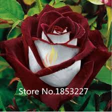 white roses for sale discount white bushes 2017 white bushes on sale at