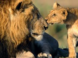 male lion wallpapers qnups rules 2016 triple tax protection for british expats