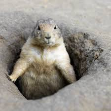 prairie dog control repellents and traps for the home yard and garden