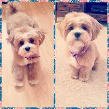 shih poo haircuts ideas about puppy hairstyles cute hairstyles for girls