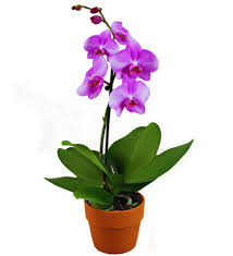 orchid plant orchid planter avas flowers