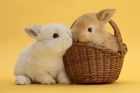 sandy and white rabbits with basket photo wp33634