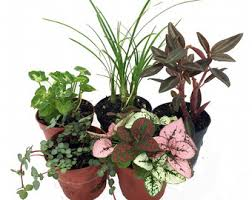 terrarium u0026 fairy garden plants assortment of 3 different plants