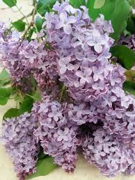 San Diego Flower Delivery Lilac Available At Rosemary Duff Florist San Diego Florist