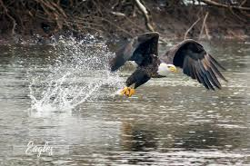 eagle home decor fine art nature photography brady kesner photography