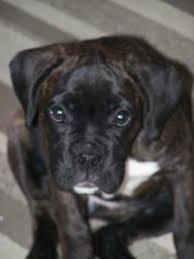 boxer dog reverse brindle bella reverse brindle