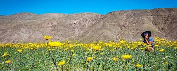 anza borrego super bloom sandsilksky the wildflower superbloom of anza borrego desert state