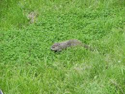groundhog in clover jpg 2 048 1 536 pixels clover lawns