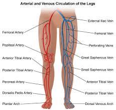 Heart External Anatomy Veins Of The Legs Anatomy Images Learn Human Anatomy Image