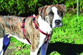 Comfort Flex Dog Harness The 2017 Best Dog Harnesses Review Whole Dog Journal