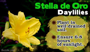 stella d oro daylily simple hacks to teach you how to care for stella de oro daylilies