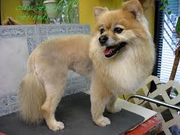 before and after pomeranian haircuts fabulous dogs