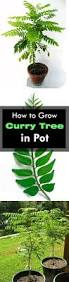 growing curry leaves plant how to grow curry tree balcony