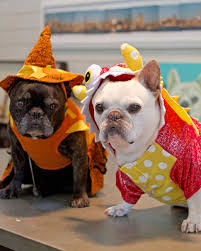 english bulldog halloween costumes see the adorable winners of francesca and sharkey u0027s canine costume