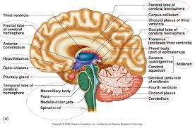quiz brain anatomy guide brain anatomy quiz label at best anatomy