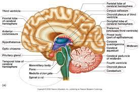 quiz brain anatomy guide brain anatomy quiz label at best anatomy