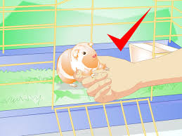 Guinea Pig Hutches And Runs For Sale How To Make Your Guinea Pig Comfortable In Its Cage 15 Steps