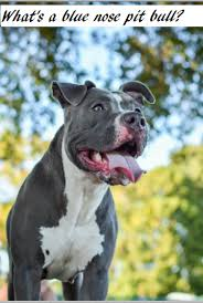 american pitbull terrier gotti razors edge cost of blue nose pit bulls daily dog discoveries