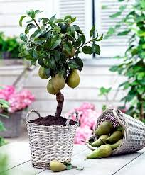 you can fruit trees in pots and growing trays on the balcony