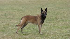 belgian shepherd wallpaper belgian malinois protection dogs for sale from ccpd