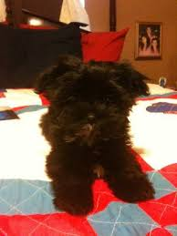 pictures of shorkie dogs with long hair rocky corbin photo album topix