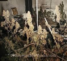 250 watt hid grow lights the best marijuana grow lights