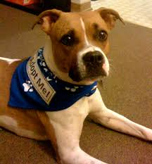 american pitbull terrier heat cycle gimme shelter saving homeless animals through science and