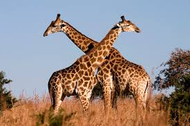 interesting giraffe facts for kids giraffe africa u2013 animal facts