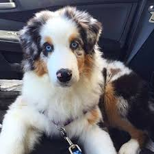 commercials with australian shepherds australian shepherd archives national purebred dog day