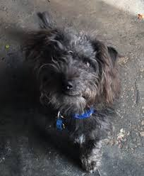 affenpinscher terrier mix boots the poodle mix dog breed poodle yorkshire terrier