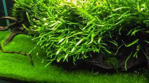 fertiliser for native plants amazon sword plant caresheet aquatic mag