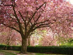 panoramio photo of pink flowering cherry blossom trees in