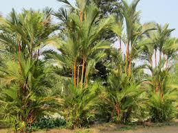 ornamental palm varieties smallhomegardens2012