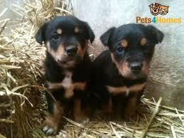 australian shepherd x kelpie kelpie x huntaway puppies for sale hereford herefordshire