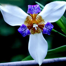 blue orchids for sale hot sale white colour iris orchid seeds beautiful perennial