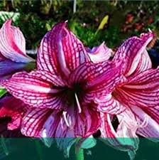 amaryllis flowers 2 pc flower amaryllis bulbs blue store