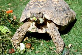 tortoise keeper u0027s interest in teff hay sparks interest for future