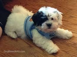 bichon frise and a shih tzu zuchon shichon dog breed information and pictures