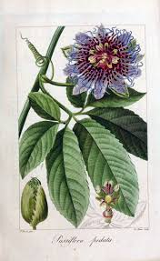 native plants passionflower vine grows 65 best passiflora images on pinterest flowers beautiful and deko