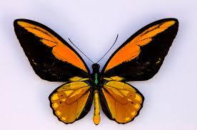Bird Wing - wallace s golden birdwing butterfly hhmi biointeractive