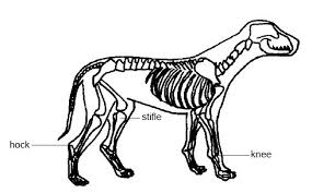 Internal Dog Anatomy Anatomy And Physiology Of Animals The Skeleton Wikibooks Open
