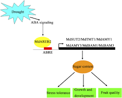 transcription factor areb2 is involved in soluble sugar