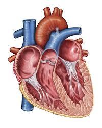 Anatomy Of Heart Valve Best 25 Bicuspid Aortic Valve Ideas On Pinterest Heart Valve