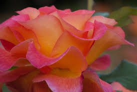 mardi gras roses 2 quote a flower daily mardi gras macro 2 quote a flower