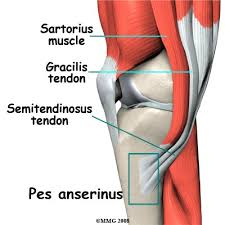 Knee Anatomy Pics The Knee Anatomy And Function Part 3 U2013 Muscles Slahm U2013 Students