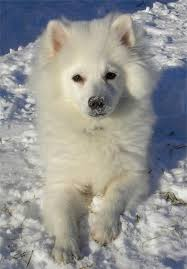 american eskimo dog rescue michigan american eskimo dog toy breed information and pictures on