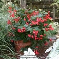 dragon wing begonia begonia dragon wing red begonias